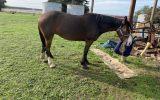 Clydie x qh on HorseYard.com.au (thumbnail)