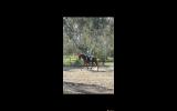 12yr Old OTT Gelding with Dressage Training  on HorseYard.com.au (thumbnail)