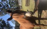 Chestnut mare on HorseYard.com.au (thumbnail)