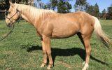 Palomino ASH 3yo on HorseYard.com.au (thumbnail)