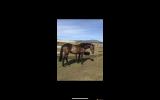 Luna 5yo mare on HorseYard.com.au (thumbnail)
