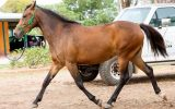 MarLou Mulan - WalerX on HorseYard.com.au (thumbnail)