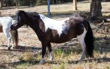 Outstanding Miniature Pony/APSB colt - Yearling on HorseYard.com.au (thumbnail)