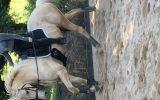 Stunning Palamino Warmblood Gentlemen  on HorseYard.com.au (thumbnail)