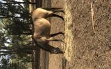 Buckskin Qtr Horse Mare For Sale on HorseYard.com.au (thumbnail)