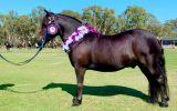 Glen-J San Remo on HorseYard.com.au (thumbnail)