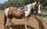 Paint Gelding  on HorseYard.com.au (thumbnail)