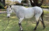 QH x Mare 14.1hh  on HorseYard.com.au (thumbnail)