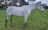 QH x Mare  on HorseYard.com.au (thumbnail)
