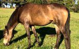 Stunning sooty buckskin  on HorseYard.com.au (thumbnail)