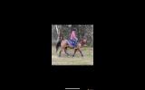 Roany 14h 4yo quarter horse gelding  on HorseYard.com.au (thumbnail)