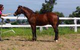 Welsh Cob- Pony Dressage/ Show/ Hunter Potential! on HorseYard.com.au (thumbnail)