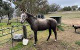 Quiet Stock horse gelding  on HorseYard.com.au (thumbnail)