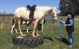 Appy 8 years old 15.1hh on HorseYard.com.au (thumbnail)
