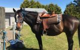 Quiet gelding  on HorseYard.com.au (thumbnail)