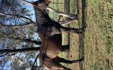 QUIET THOROUGHBRED MARE on HorseYard.com.au (thumbnail)