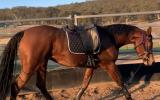 Stunning Anglo Filly  on HorseYard.com.au (thumbnail)