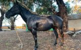 Black Quarter horse mare beginners SOLD on HorseYard.com.au (thumbnail)