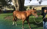 Quarter horse mare on HorseYard.com.au (thumbnail)