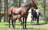 Fiji R Filly on HorseYard.com.au (thumbnail)