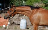 Your Next Grandnational Star on HorseYard.com.au (thumbnail)