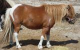 4 Shetland bred geldings $350.00 each on HorseYard.com.au (thumbnail)