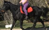 STB Gelding -Jimmy on HorseYard.com.au (thumbnail)