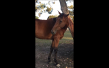Gorgeous Standardbred  on HorseYard.com.au (thumbnail)