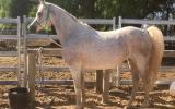 Purebred grey Arab brood mare on HorseYard.com.au (thumbnail)