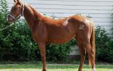 Registered QH Gelding on HorseYard.com.au (thumbnail)