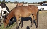 Chocky 18mo Clydie X Australian pony filly great temperament on HorseYard.com.au (thumbnail)