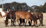 Chocky 18mo Clydie X Australian pony filly great temperament on HorseYard.com.au (thumbnail)