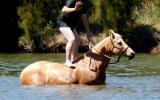 Quiet Golden Palomino QH Mare + VIDEO on HorseYard.com.au (thumbnail)
