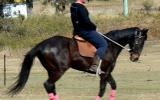 Educated Eventer Hack Jumper + VIDEO+ on HorseYard.com.au (thumbnail)