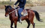 Sensible Quiet Bay Stock Gelding + VIDEO+ on HorseYard.com.au (thumbnail)