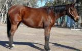 Heavy Set Stock Gelding + VIDEO+ on HorseYard.com.au (thumbnail)