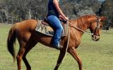 Quiet Red Paint Bred Mare + VIEDO++ on HorseYard.com.au (thumbnail)