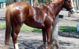 Pretty Red Aust Stock X Mare + VIDEO++ on HorseYard.com.au (thumbnail)