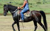 One For The Nervous Riders QH X Gelding + VIDEO++ on HorseYard.com.au (thumbnail)