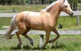 Palomino Part Welsh Gelding on HorseYard.com.au (thumbnail)