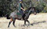 Roan Gelding with Super Personality on HorseYard.com.au (thumbnail)