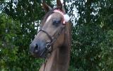 JLB Love Lace on HorseYard.com.au (thumbnail)