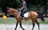 Arab/Warmblood Mare, reasonable offers considered on HorseYard.com.au (thumbnail)