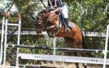 Fuss free all rounder/eventer on HorseYard.com.au (thumbnail)