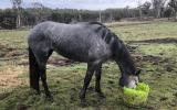 Unbroken Grey Tb filly on HorseYard.com.au (thumbnail)