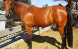BEAUTIFUL Quiet Mare on HorseYard.com.au (thumbnail)