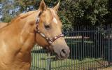 RUNVS Palomino QH Stallion Q-44084 on HorseYard.com.au (thumbnail)