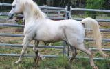 Estaan S21787 Arab Stallion 15.1hh on HorseYard.com.au (thumbnail)