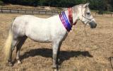 Super Pony Club/Interschools  Pony on HorseYard.com.au (thumbnail)
