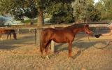 Welsh B yearling filly on HorseYard.com.au (thumbnail)